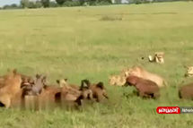 حمله غیرمنتظره یک گله شیر به کفتارها+ویدئو