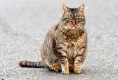 شکار ببر توسط یک گربه! +ویدئو