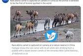 کشف اولین شتر زال جهان در چین +عکس