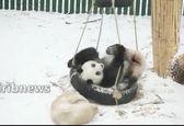 پانداهای بازیگوش باغ وحشی در چین+ویدئو