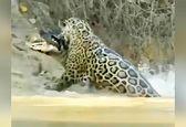 صحنه دیدنی شکار تمساح توسط پلنگ+ویدئو